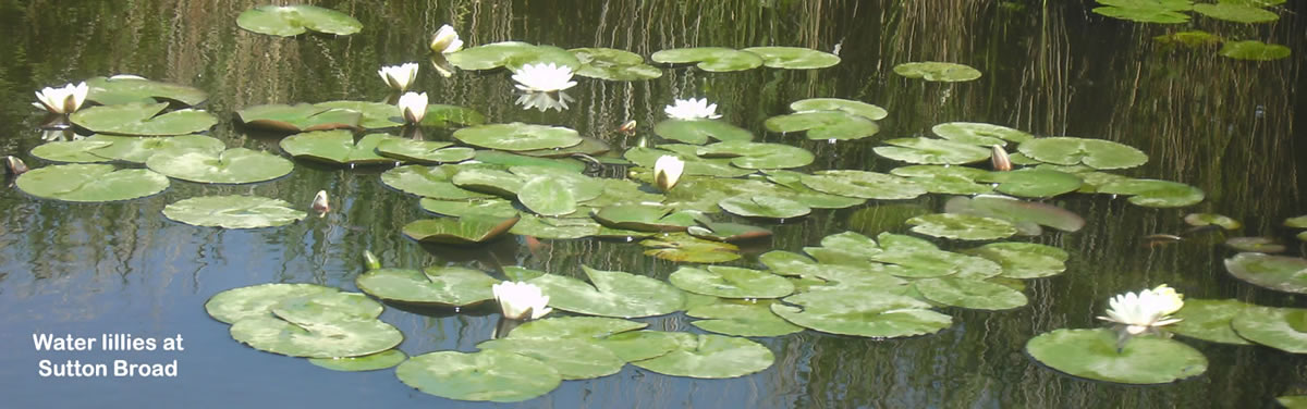 water lillies on the Norfolk Broads